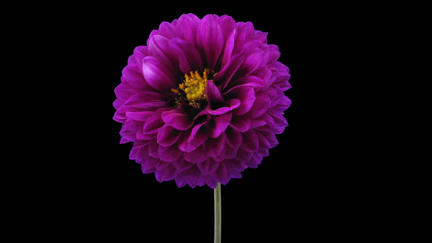 Time-lapse of blooming purple dahlia flower 3a3 in RGB + ALPHA matte format isolated on black background