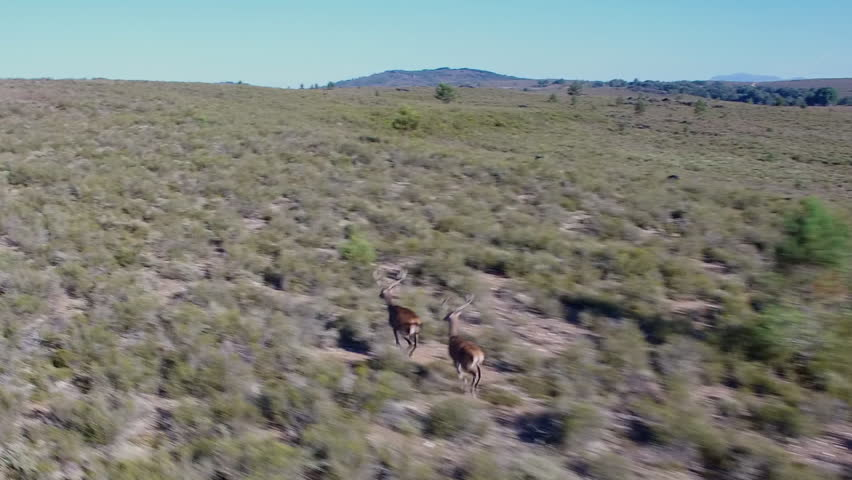 Closeup of 2 deers running over bush, Male animals camera following them