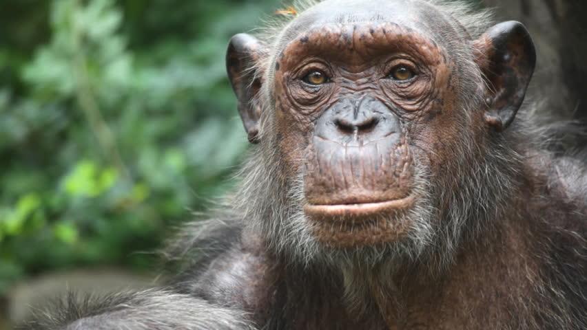 gorilla - HD stock footage clip