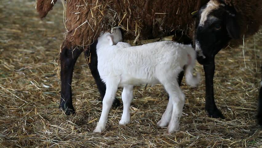 baby lamb feeding