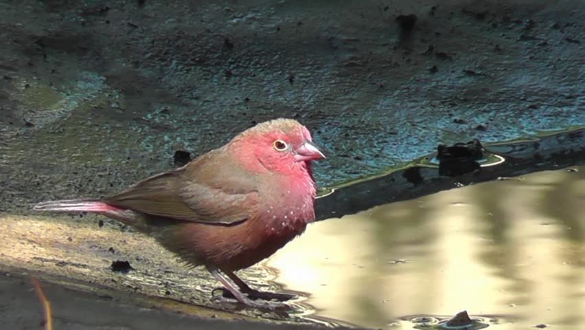 Header of African Firefinch