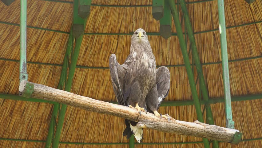 Grey-headed fish eagle in Zoo cage - 4K stock footage clip