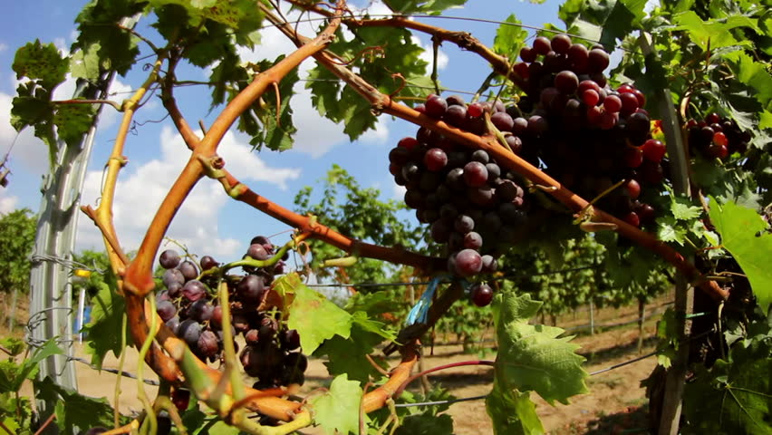 Dolly shot of red grapes hanging on a vineyard - HD stock footage clip