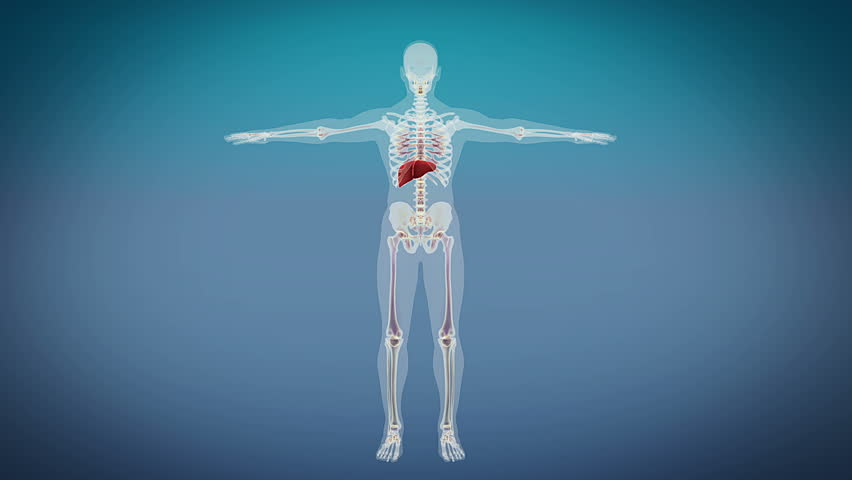 3D Animation Of ADRENAL Anatomy In Loop Stock Footage