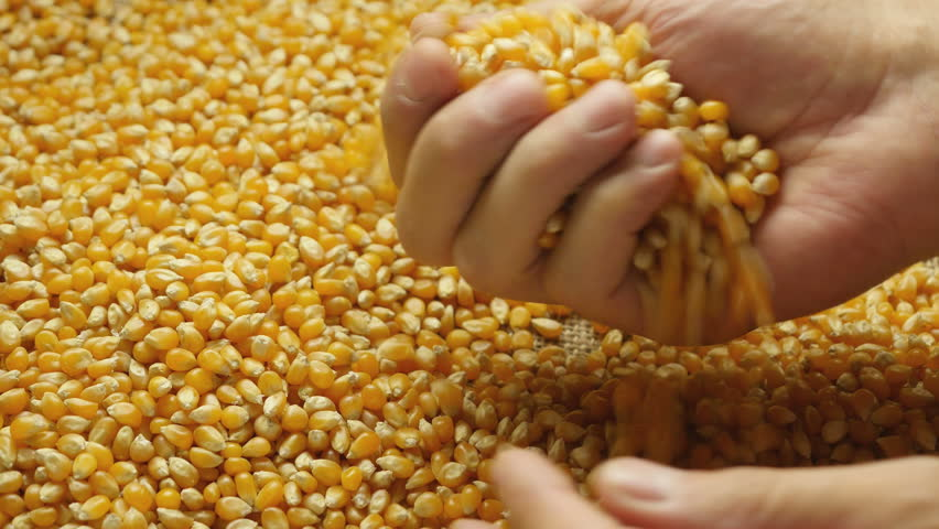 Corn grains in the hands.