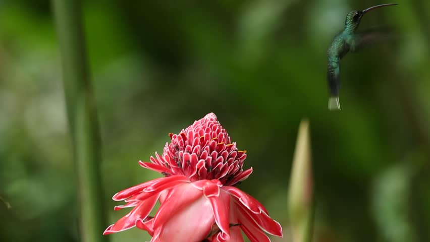 Hummingbird, Green Hermit, Phaethornis guy, flying next to beautiful red rose flower with ping bloom, Asa, Trinidad