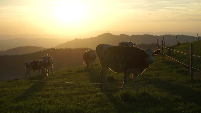 Cows and sunset in mountain, Switzerland - HD stock video clip