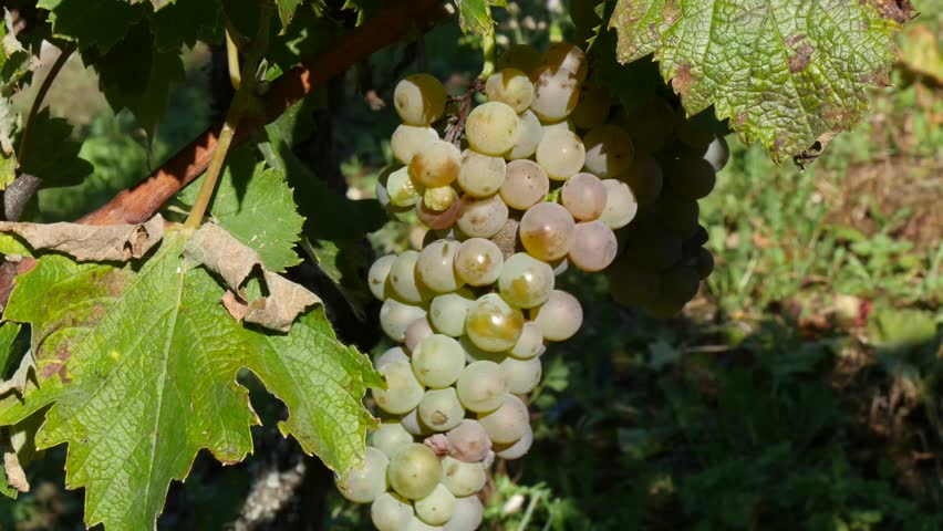 close up of white grapes   - 4K stock video clip