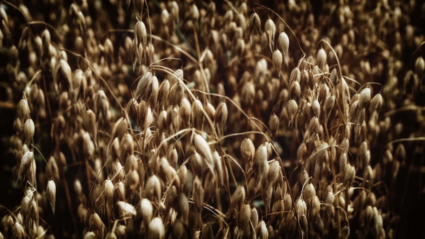 Oats growing in a farmers field HD stock footage. Oat crops ready to be harvested in an Oat field in Summer. ProRes. Colour graded. - HD stock video clip