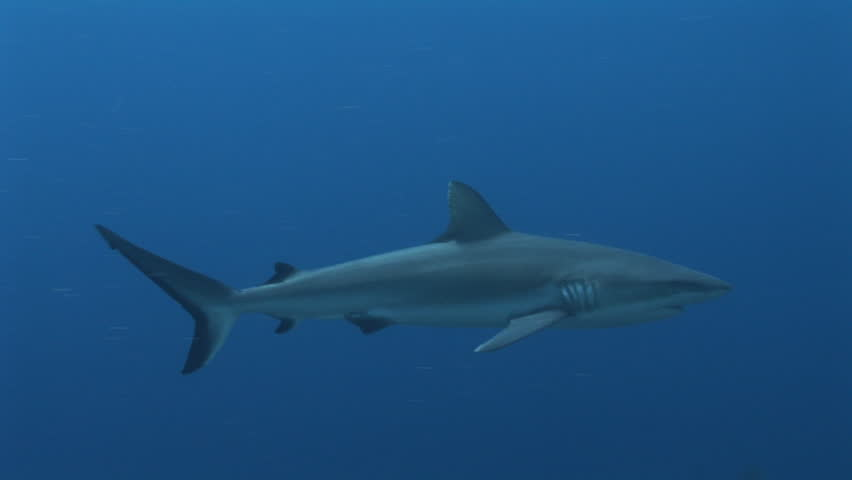 Grey Reef shark swimming along the reef with blue water background, Yap, Micronesia, Pacific Ocean - HD stock video clip