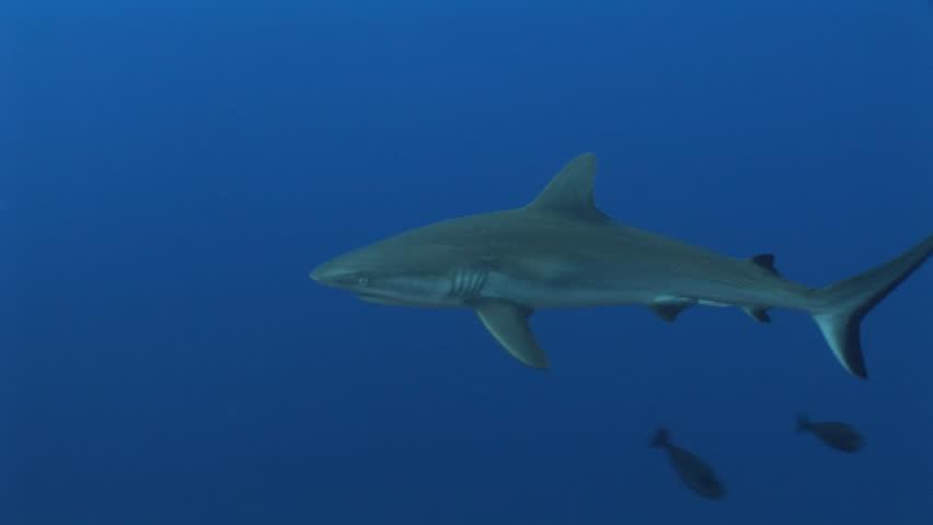 Grey reef sharks, Carcharhinus amblyrhynchos, swimming in blue water, Yap, Micronesia, Pacific Ocean - HD stock video clip
