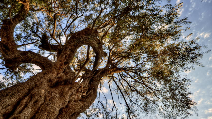 Israel - March, 2011: Tracking time-lapse looking up through an olive tree. Shot in Israel. - 4K stock video clip