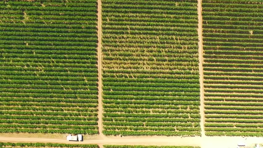 AERIAL VIEW: This is an aerial view moving from the right to the left over numerous green fruit orchards planted in rows divided by paths.  - HD stock video clip