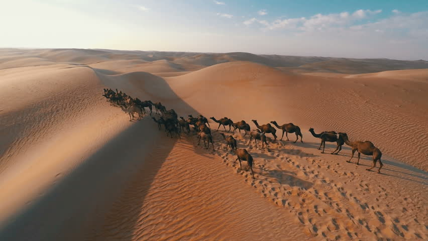 Group of camels being herded over sand dunes in the Arabian desert | Shutterstock HD Video #12045998