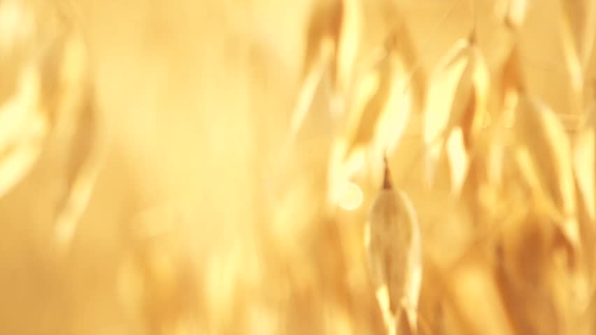 Oat field in sunset. Harvest and harvesting concept. Field of golden oats close up swaying. Organic food, Nature. Peaceful scene. Slow motion 240 fps. Hd 1080p. High speed camera  - HD stock video clip