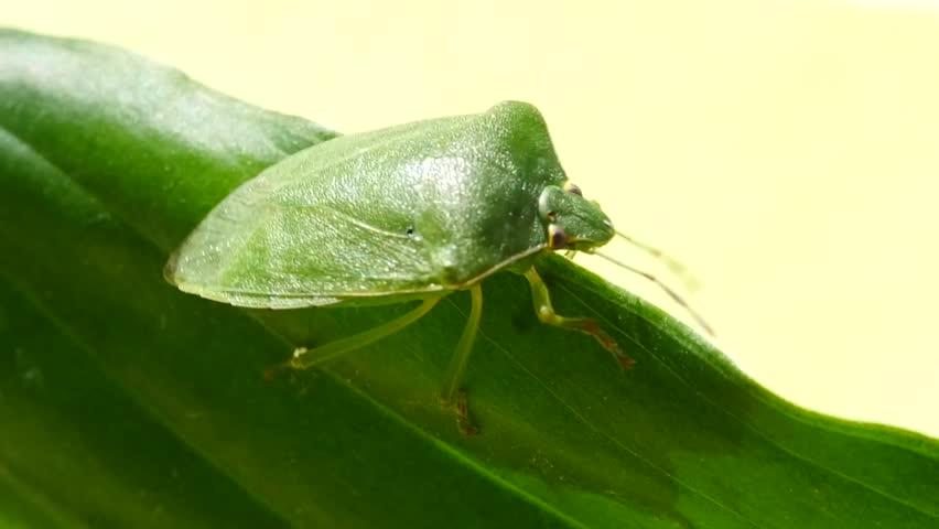 Green Stink Bug #12128906