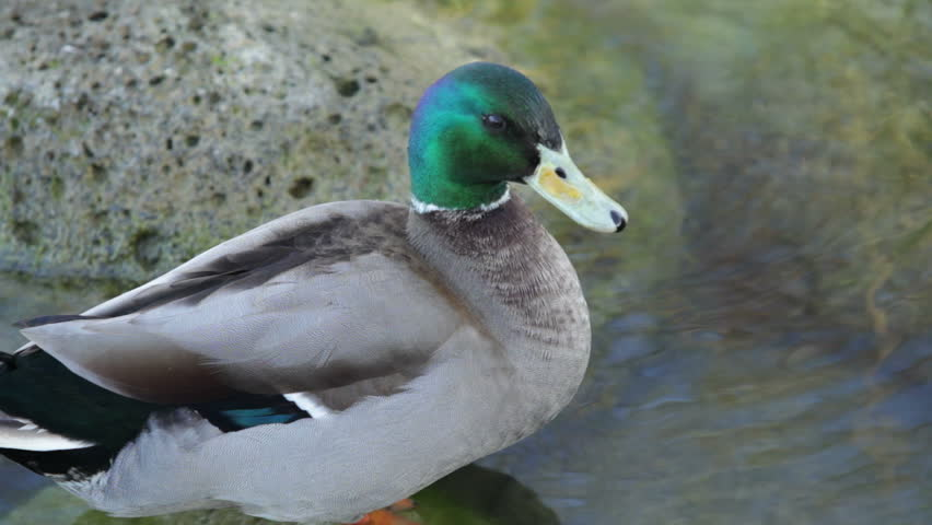 Duck in a lake - HD stock footage clip