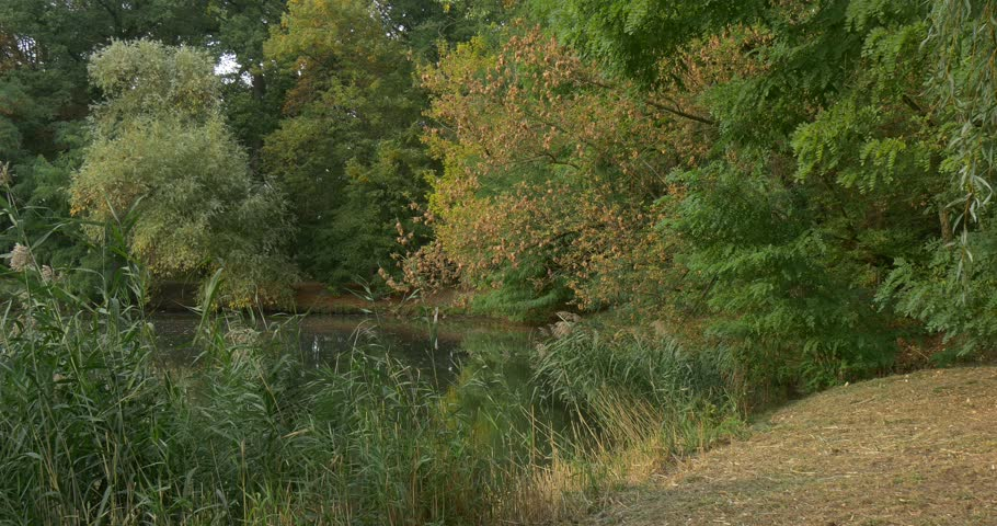 Forest Lake, Overgrown Banks, Dry Grass, Water, lush trees around the pond, Branches of Willow Tree Green Trees Leaves, Trees' Crowns, branches are swaying at the wind, nature, outdoors, sunny day, - 4K stock footage clip