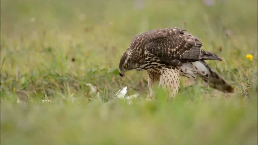 Header of Accipiter gentilis
