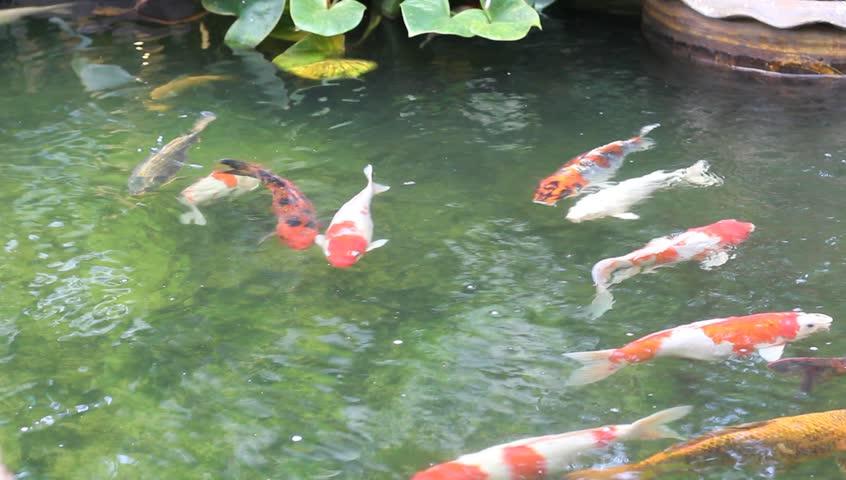 4k hd amazing goldfish - photo #13
