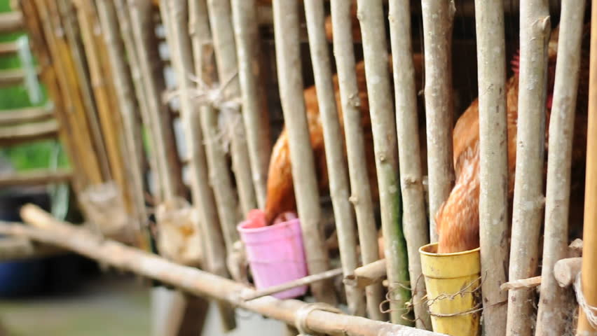 Chicken Farm - HD stock footage clip
