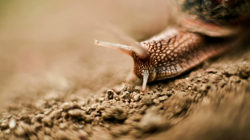 Snail walking from focus to out of focus macro time lapse HD video