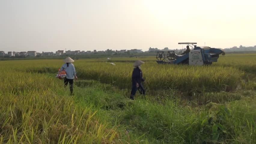 HANOI, VIETNAM - October 24th, 2015: combine harvester harvesting rice - HD stock footage clip