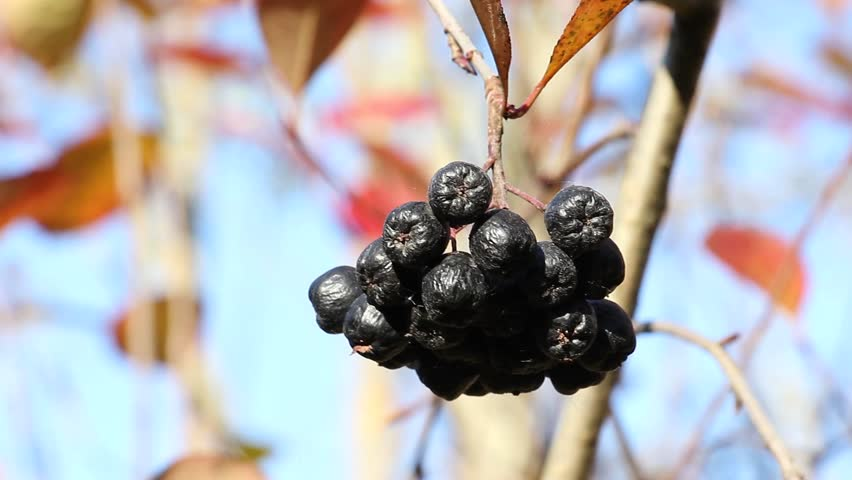 bunch of ripe Aronia berry swaying on the background of autumn foliage and blue sky #12513305