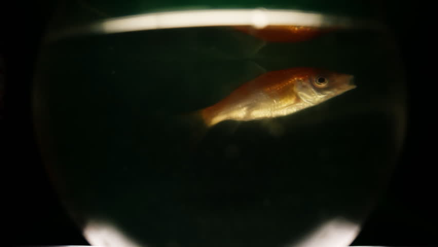 Golden Fish - HD stock video clip