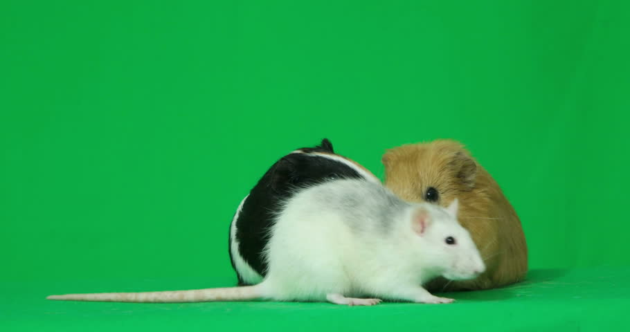 Rat washes on a green screen  - 4K stock footage clip