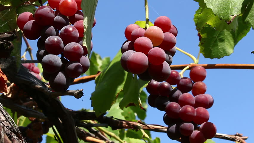red grapes against the blue sky - HD stock footage clip