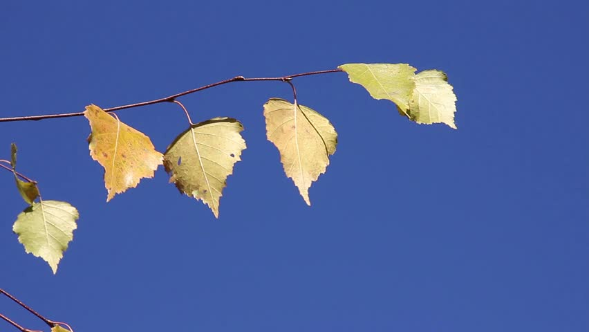 birch branch with yellow leaves swaying on the background of blue sky, (useful for the credits of the film) #12630197