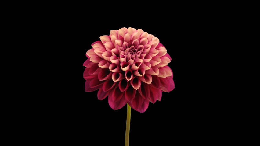 Time-lapse of opening red dahlia flower 9h1 in PNG+ format with ALPHA transparency channel isolated on black background