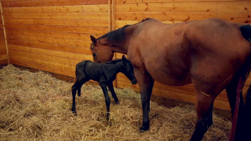Foal learning to stand for first time in stables | Shutterstock HD Video #12729197