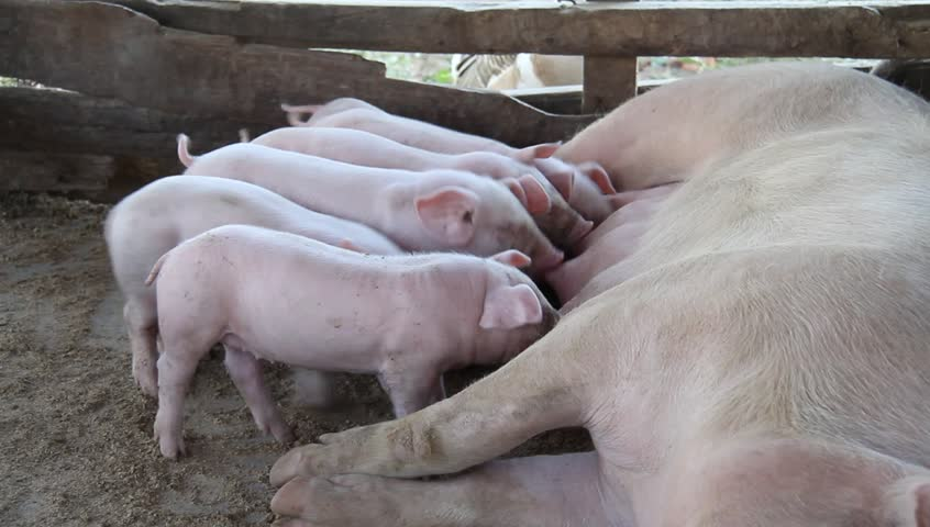 Pigs fed the milk of the mother is in a stable country.