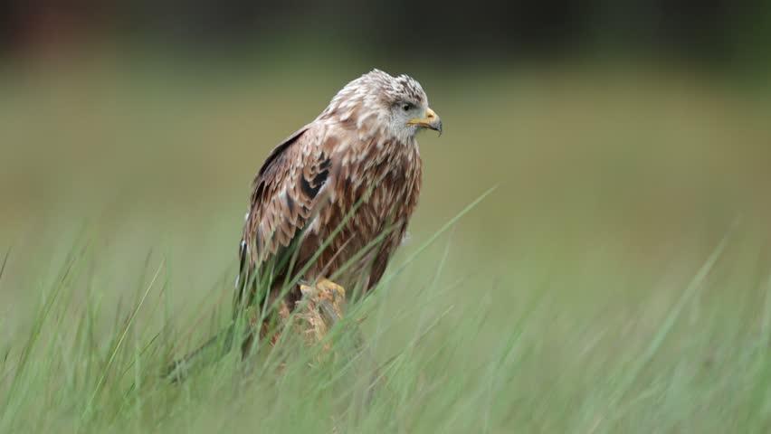 Bird of prey red kite, Milvus milvus, sitting in the march grass meadow