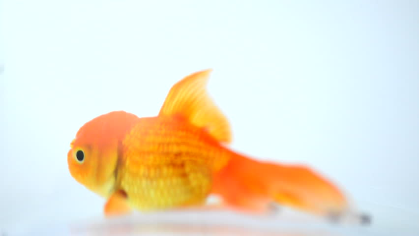 the talking goldfish Goldie - the walking, talking goldfish - kindle edition by neil v taylor download it once and read it on your kindle device, pc, phones or tablets use features like bookmarks, note taking and highlighting while reading goldie - the walking, talking goldfish.
