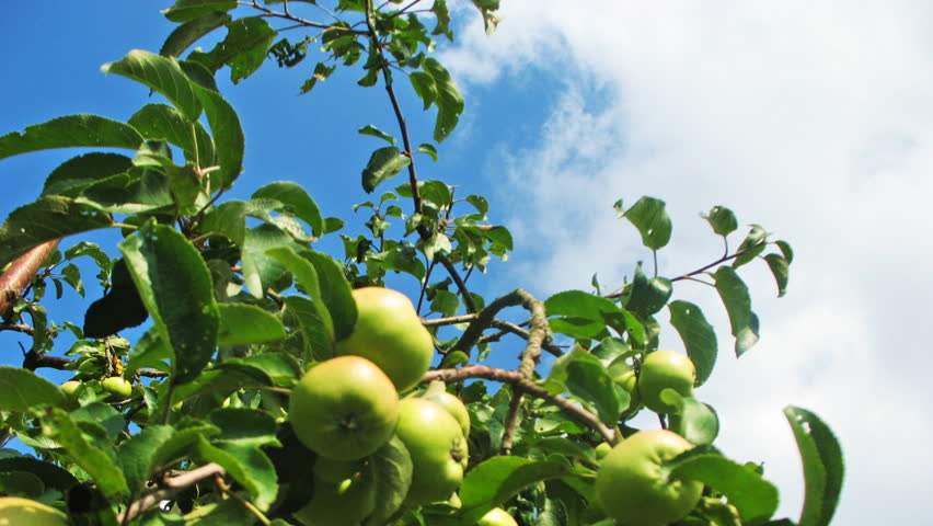 green apples on tree, in blue sky beautiful white cumulus (clouds), time-lapse - HD stock video clip