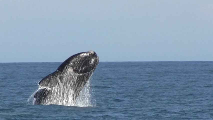 Southern Right Whale Breaching Close Up | Shutterstock HD Video #12921725
