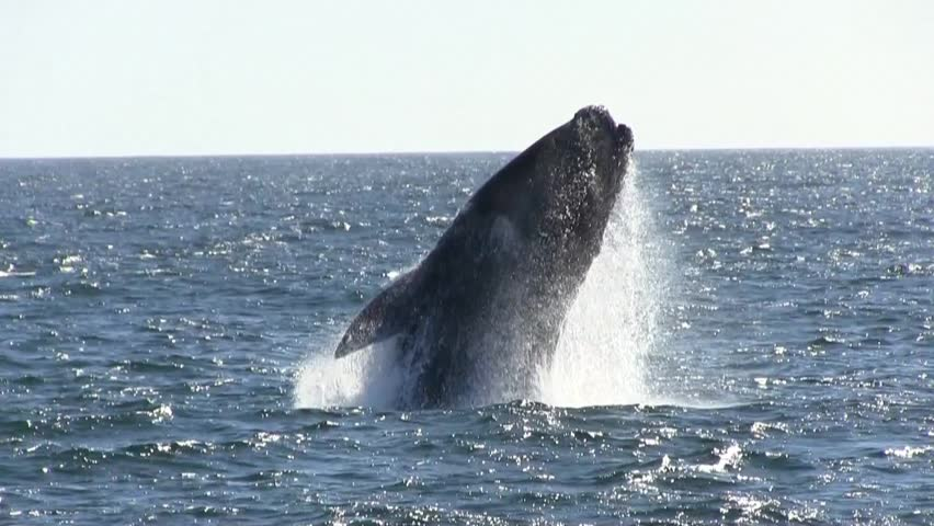 Southern Right Whale Breaching Close Up | Shutterstock HD Video #12921779