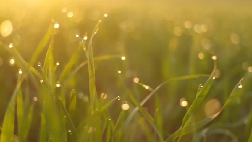 Fresh grass with dew in the sunrise. | Shutterstock HD Video #12939050