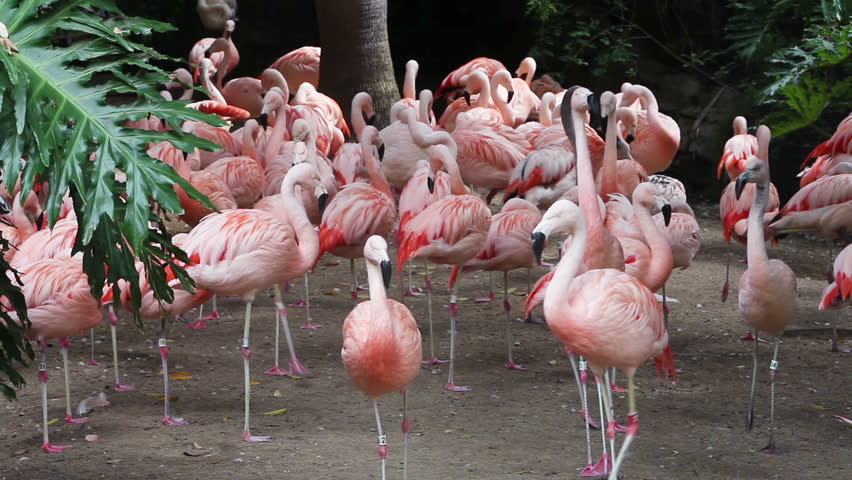 Group of pink flamingos at the zoo. Red flamingo