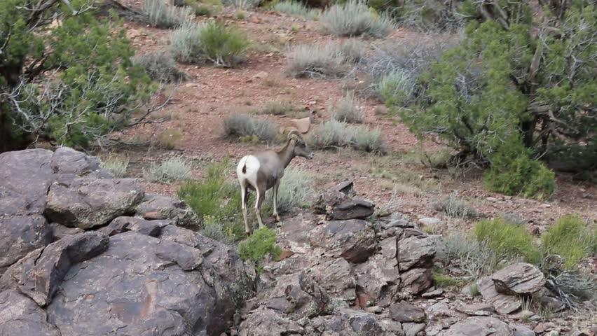 Two bighorn sheep - Colorado National Monument, Colorado - HD stock footage clip