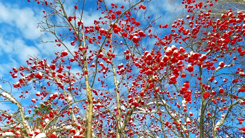 Tree branches and red berries clusters with snow caps at the sky with