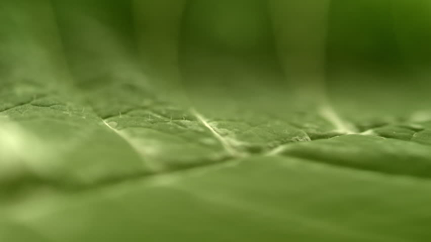 Green leaf in true Macro close up HD stock footage. An beautiful green leaf in extreme close up and high in detail. Sliding camera move.