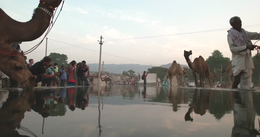 Pushkar, India-22 November, 2015:Camel herd or camel trader bring camels to the specially designed water pool for them in Camel Fair, an annual event for Farmers and traders from all over Rajasthan.   - 4K stock footage clip