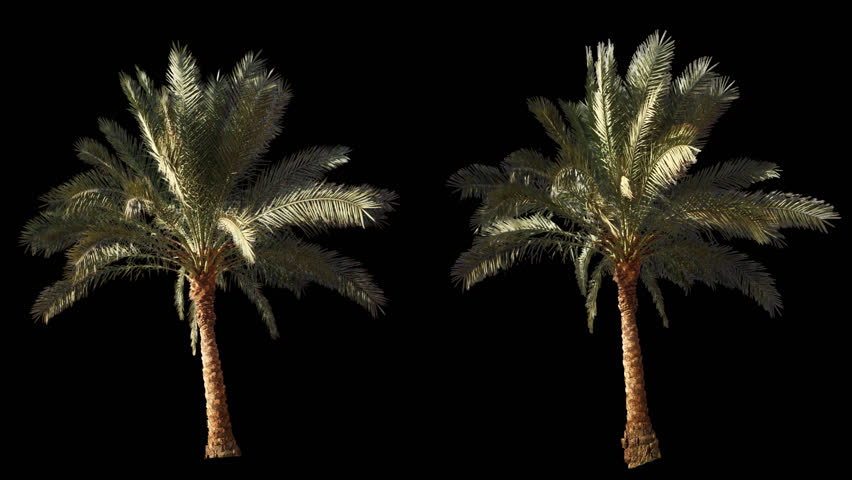 2 blowing on the wind beautiful green full size real tropical palm trees isolated on alpha channel with black and white luminance matte, perfect for film, digital composition. #13303091