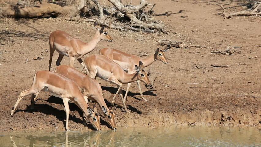 impala antelopes aepyceros melampus drinking water. Black Bedroom Furniture Sets. Home Design Ideas