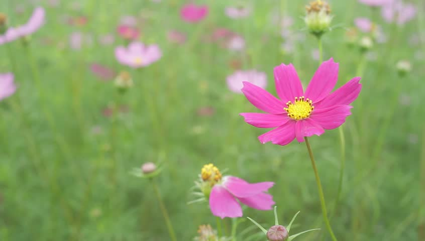 Cosmos flower | Shutterstock HD Video #13340180