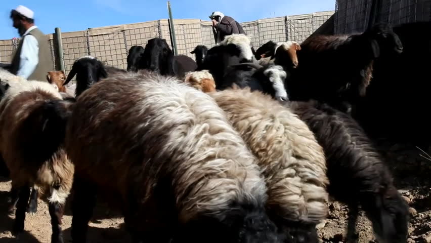CIRCA 2010s - Veterinarians treat goats and sheep in a rural community in Afghanistan. - HD stock video clip